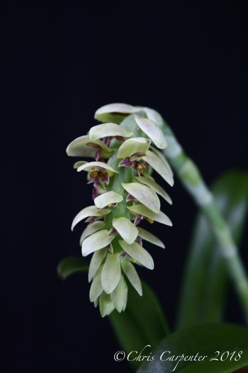 Bulbophyllum luteobracteatum-_mg_6297-jpg