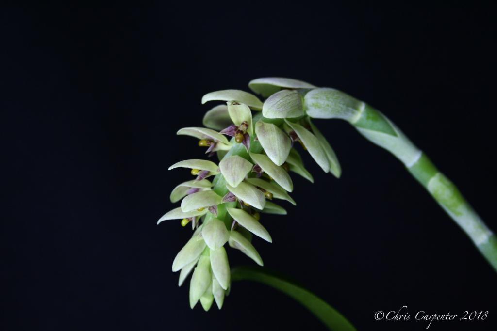 Bulbophyllum luteobracteatum-_mg_6347-jpg