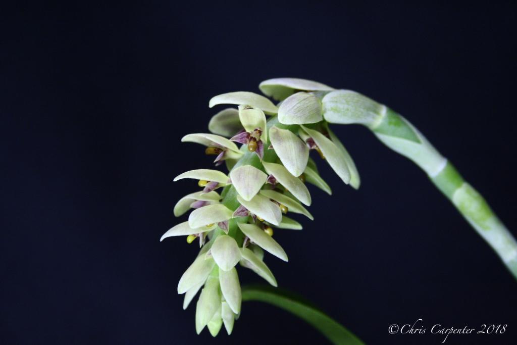 Bulbophyllum luteobracteatum-_mg_6351-jpg