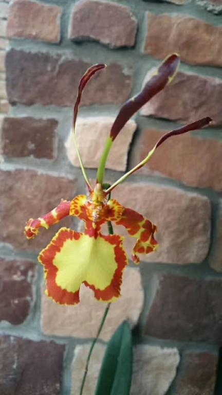 Please Post Your Most Bizarre Orchid Flower.-27484808_1694675750594647_1825890637_o-jpg