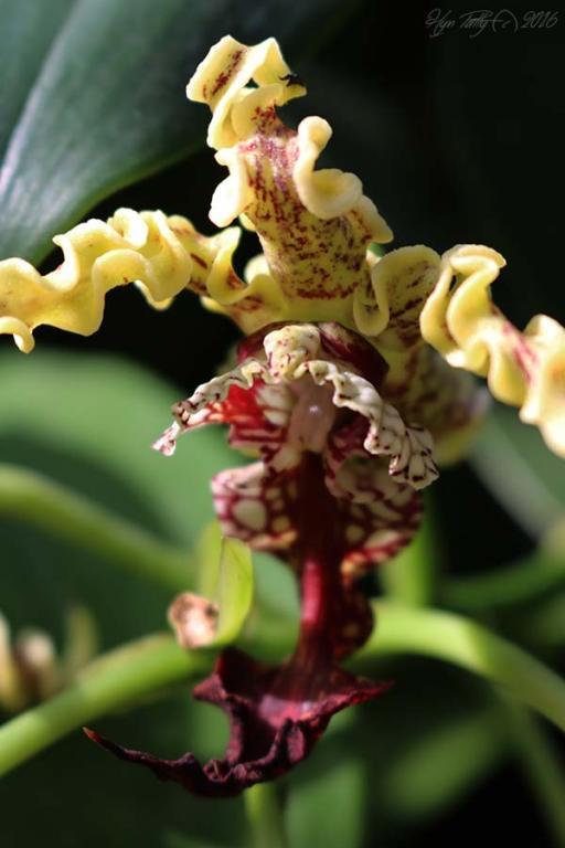 Please Post Your Most Bizarre Orchid Flower.-demdrobium-spectabile-2-jpg