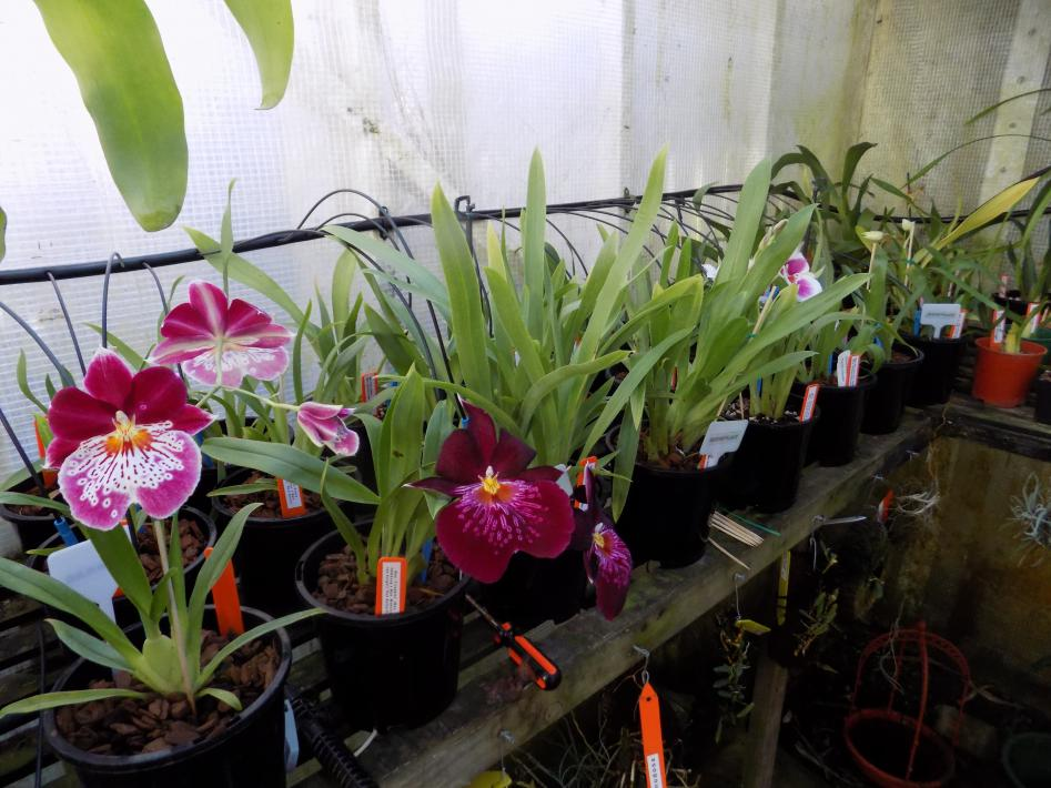 Why are Miltoniopsis (Pansey Orchid) not popular-dscn0388-jpg
