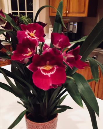 Why are Miltoniopsis (Pansey Orchid) not popular-ee37b4b6-ccc8-4db6-9d24-fd617a717d86-jpg