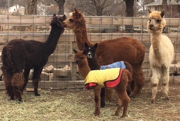 Newest Bucket List Goal-alpaca2-jpg