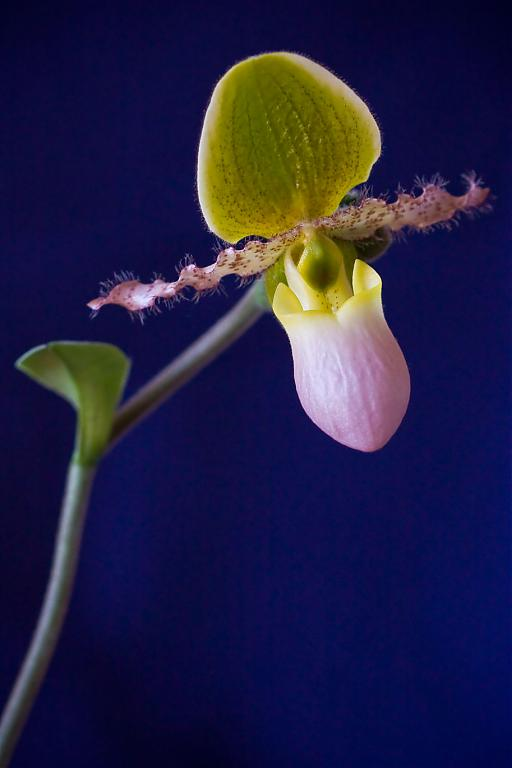Paph grown in S/H-paph_pin-jpg