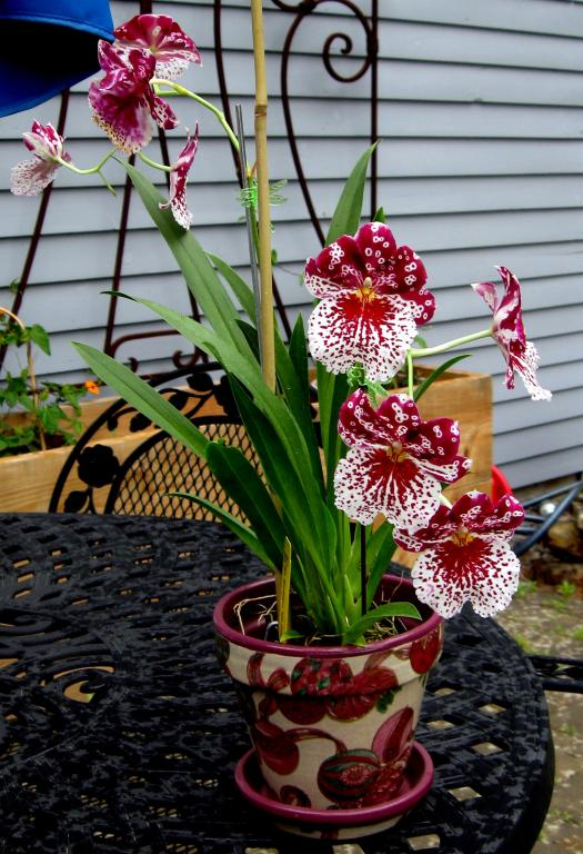Why are Miltoniopsis (Pansey Orchid) not popular-img_3583-jpg