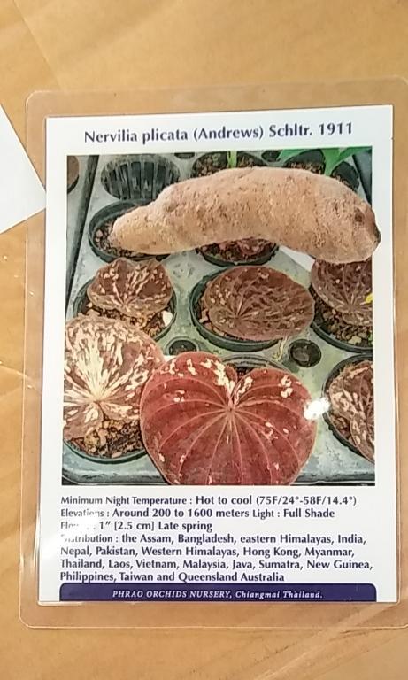 Nervilia plicata-nervilia_plicata_20180223_seca-jpg