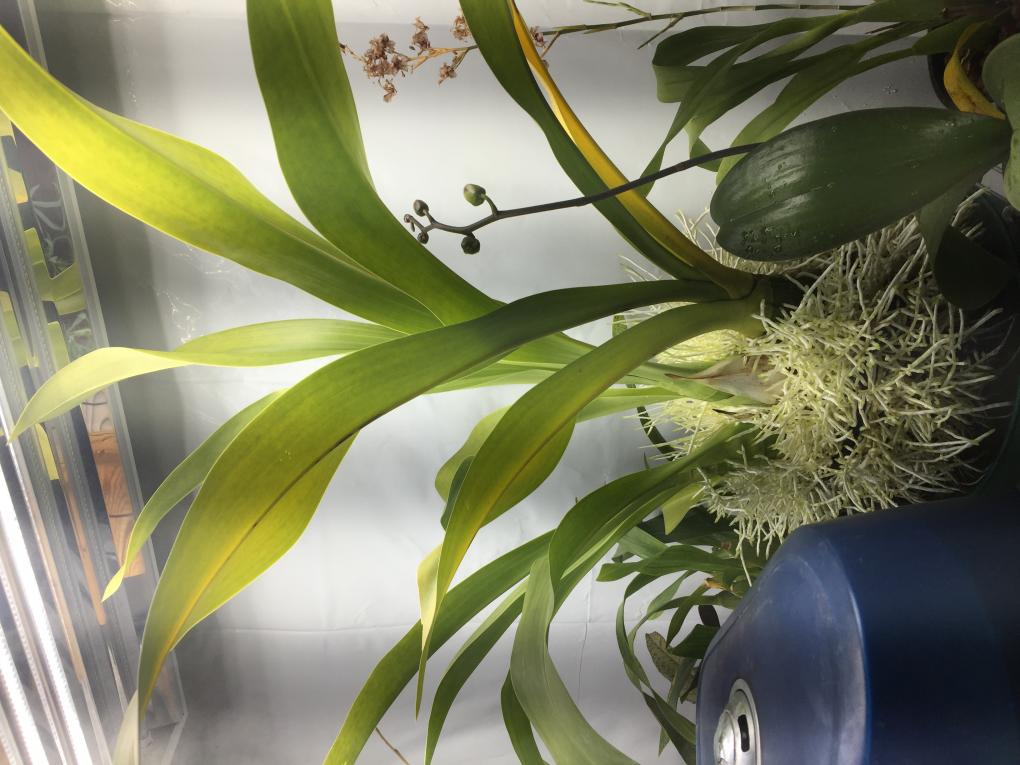Help with Grammatophyllum!!!-img_5673-jpg