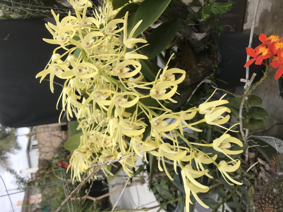 My 3 biggest Den. speciosum's are blooming-img_2280-jpg