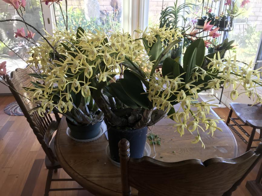 My 3 biggest Den. speciosum's are blooming-img_2324-jpg