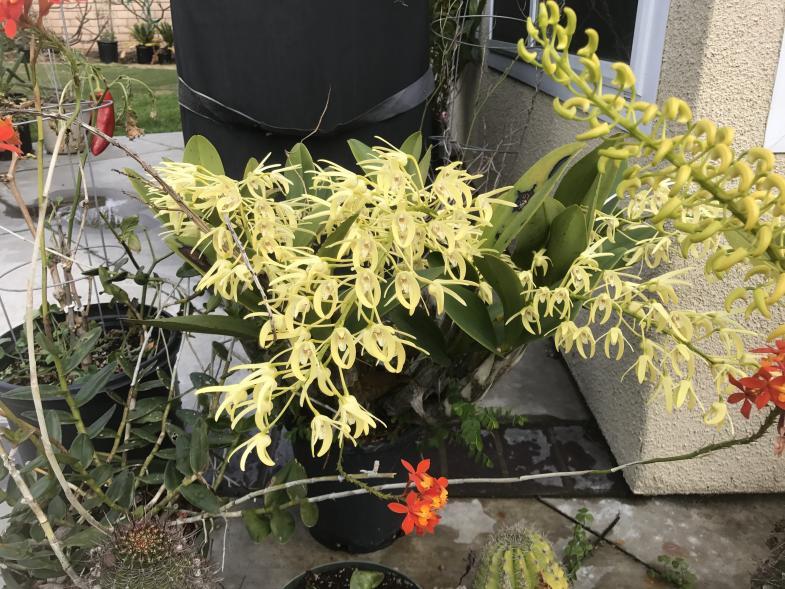 My 3 biggest Den. speciosum's are blooming-img_2279-jpg