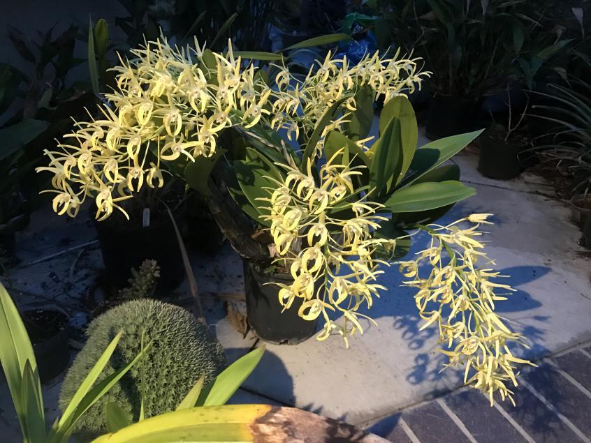 My 3 biggest Den. speciosum's are blooming-img_2358-jpg