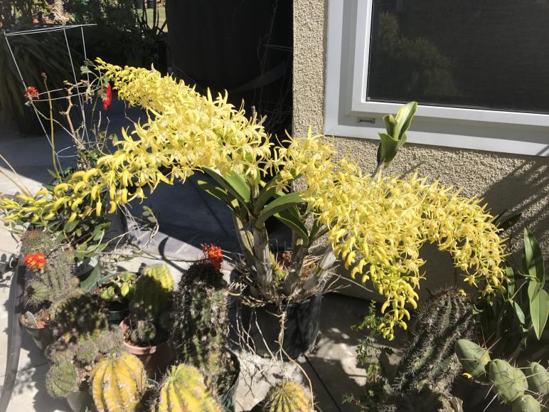 My 3 biggest Den. speciosum's are blooming-img_2329-jpg