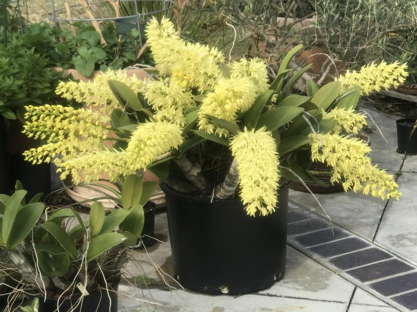 My 3 biggest Den. speciosum's are blooming-img_2314-jpg