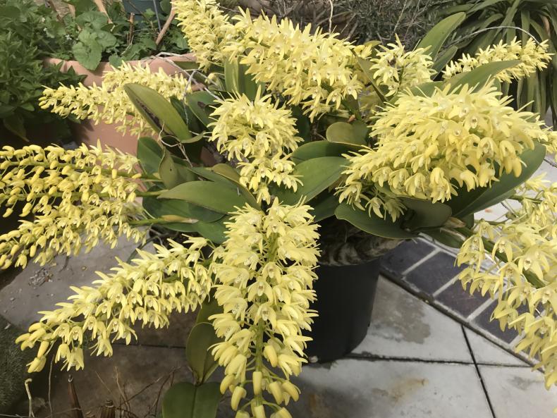 My 3 biggest Den. speciosum's are blooming-img_2287-jpg