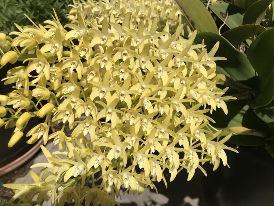 My 3 biggest Den. speciosum's are blooming-img_2331-jpg