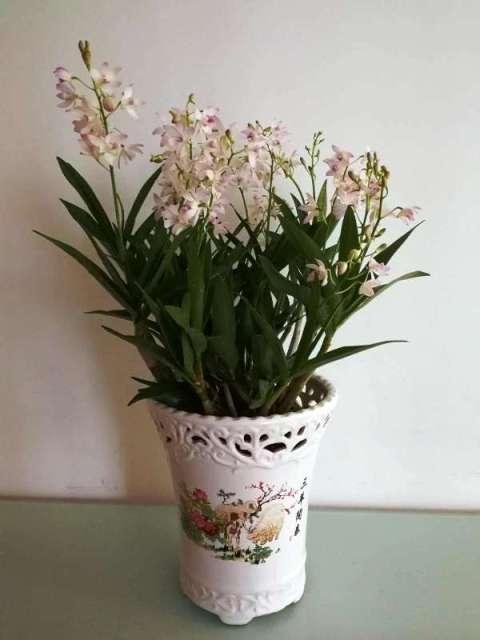 Australian Dendrobium kingianum noid-5a28e91e86a32b778ad8c6879790be14-temp-resized-jpg