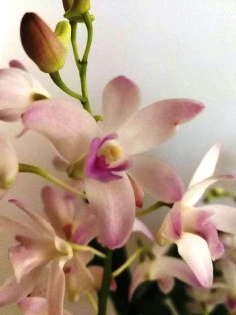 Australian Dendrobium kingianum noid-2075d9a3793eabb3faf055dc8a29bfcb-temp-resized-jpg