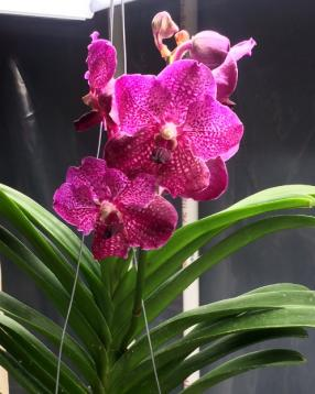 Rescued a vanda from Rona, now what?-17f23ffa-5489-43f9-a778-7609cca287ce-jpg