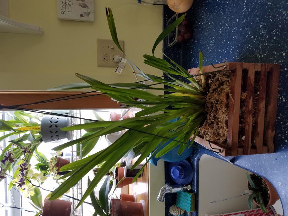 maxillaria buchtienii question-20180404_131944-jpg