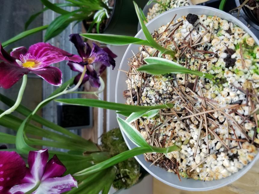 Habenaria radiata ( Egret Orchid )-15229354867008837300586915812067-jpg