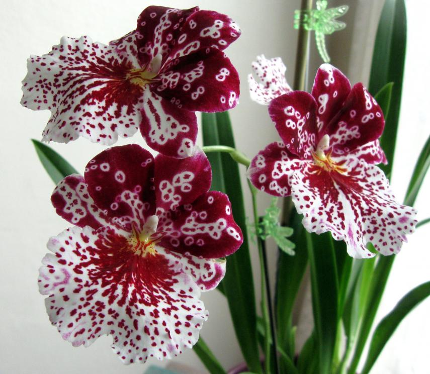 Why are Miltoniopsis (Pansey Orchid) not popular-miltoniopsis-close-jpg