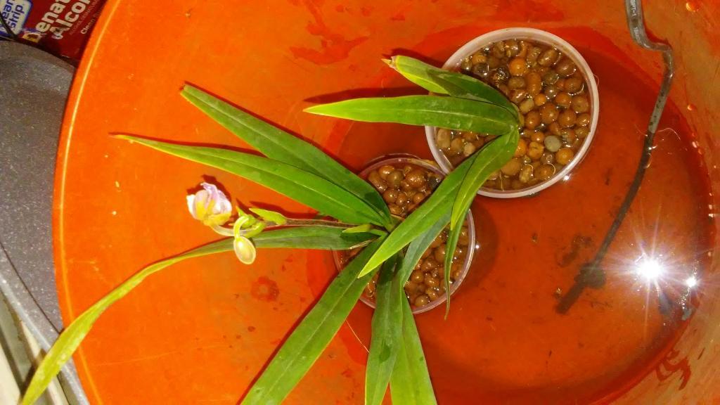 Phragmipedium schlimii-0408181103-jpg