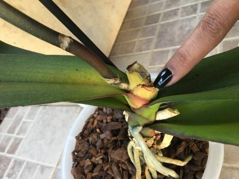Crown rot? Top leaves get yellow. Please help.-378dc2d4-76f0-4be1-99c7-cdc9df587bc0-jpg