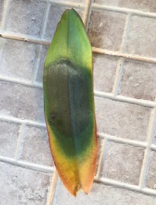 Crown rot? Top leaves get yellow. Please help.-6ba9da39-1c22-4e22-afcc-d12ff3534708-jpg