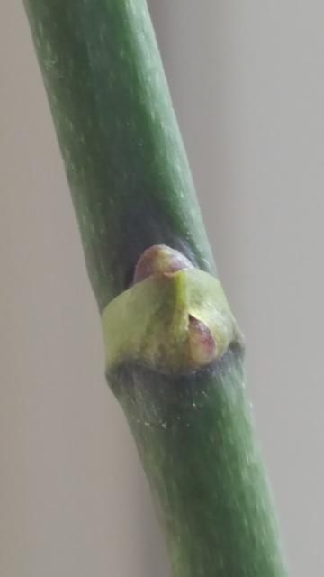 Keiki or Floral Branch?-20180409_orchids-keiki-mini-phal-berry1_5x7-jpg
