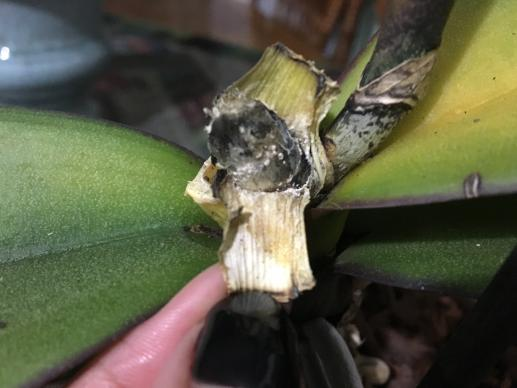 Crown rot? Top leaves get yellow. Please help.-c3d1bfbb-ad57-4ea8-9c3e-0ae01d96a0a1-jpg