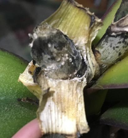Crown rot? Top leaves get yellow. Please help.-bb3c4140-ceb8-4db0-bab0-7001df290714-jpg