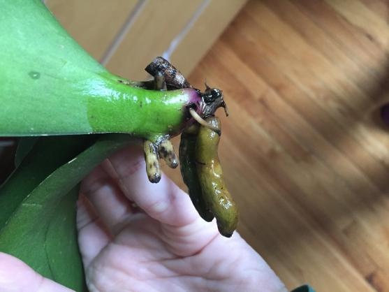 Phal grew new roots but all browned-11b288f3-2397-45fa-93e2-6ca8380e90fd-jpg