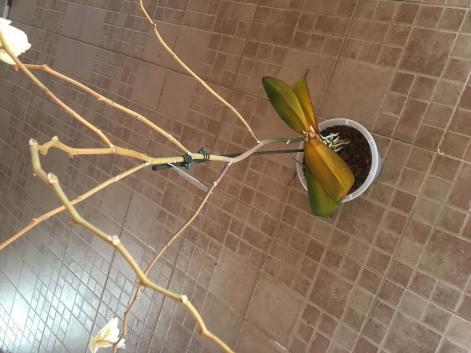 Crown rot? Top leaves get yellow. Please help.-d7ac4f68-bd36-4cf4-bd49-ca245a0d1965-jpg