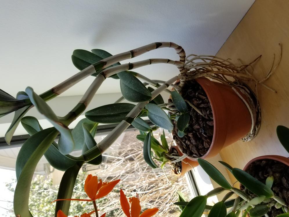 Repotting Cattleya amethystoglossa-20180416_151845-jpg