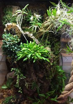 Drockrillia cucumerinum flowering-76733732-04c2-4753-8599-620da0d09803-jpg