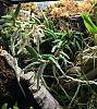 Drockrillia cucumerinum flowering-3c4edcbc-78cb-44ad-8a58-8b207e3328f9-jpg