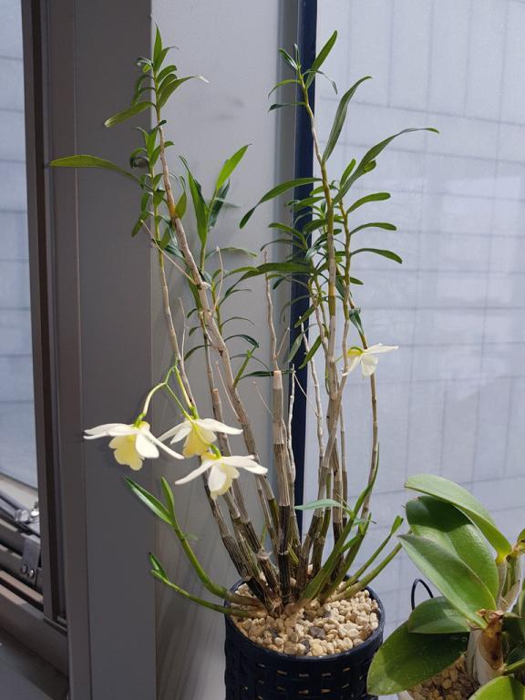 Dendrobium kingianum x hancockii-han-king-1-jpg