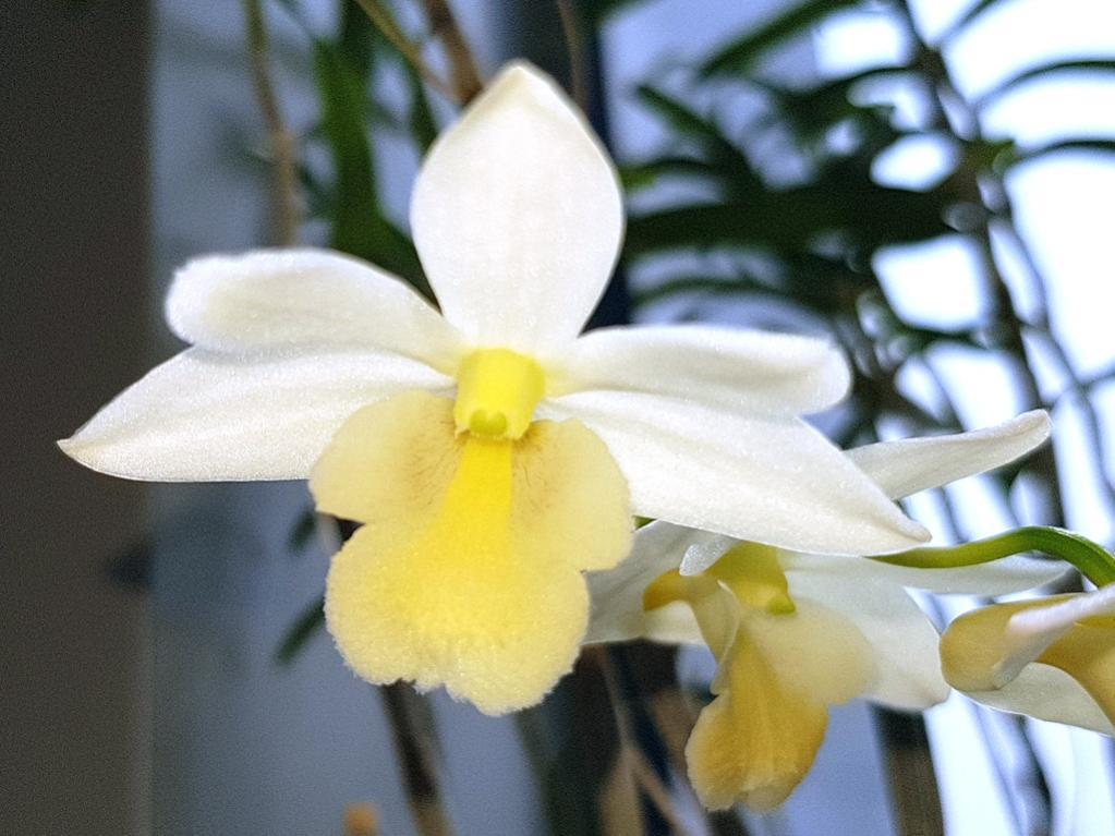 Dendrobium kingianum x hancockii-han-king-3-jpg