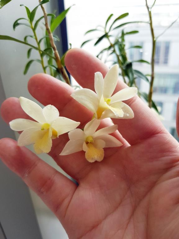 Dendrobium kingianum x hancockii-han-king-4-jpg