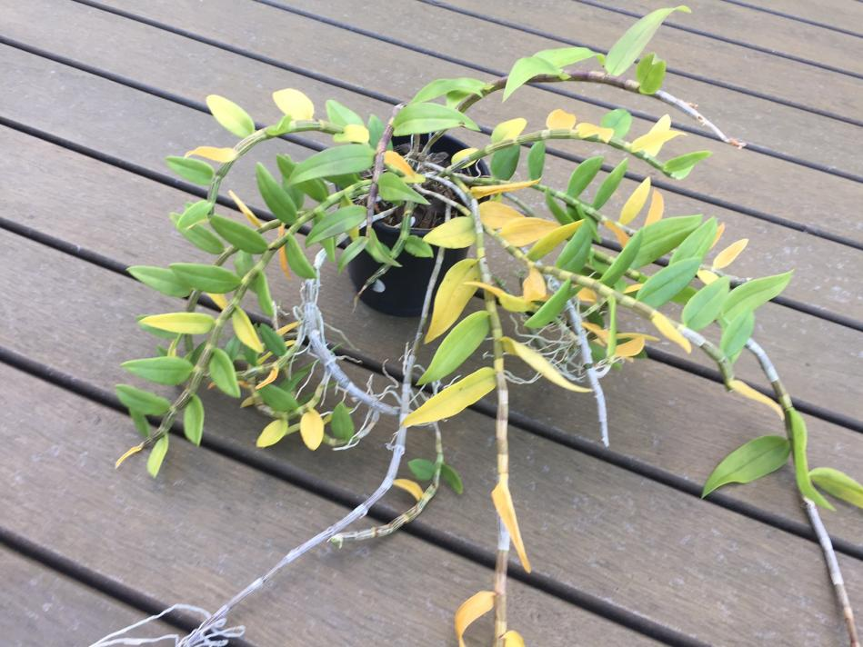Yellow leaves on unknown dendrobium-unhappy-den1-jpg