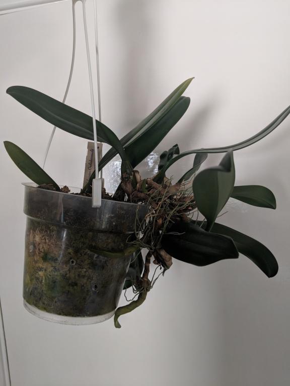 Bulbophyllum Elizabeth Ann should I repot or not?-img_20180508_090031-jpg