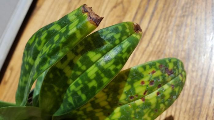 """Paphiopedilum with """"rusty"""" brown spots on leaves-20180503_120859-jpg"""