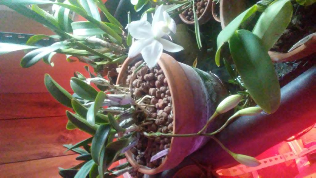 Cattleya nobilior var. amaliae (Snowball' x 'Hawaiian Blanc')-0513180922-jpg