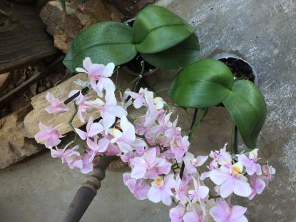 Lowes Phalaenopsis with spotted leaves-70627c5d-107b-4312-b38c-9aa4e47138f8-jpg