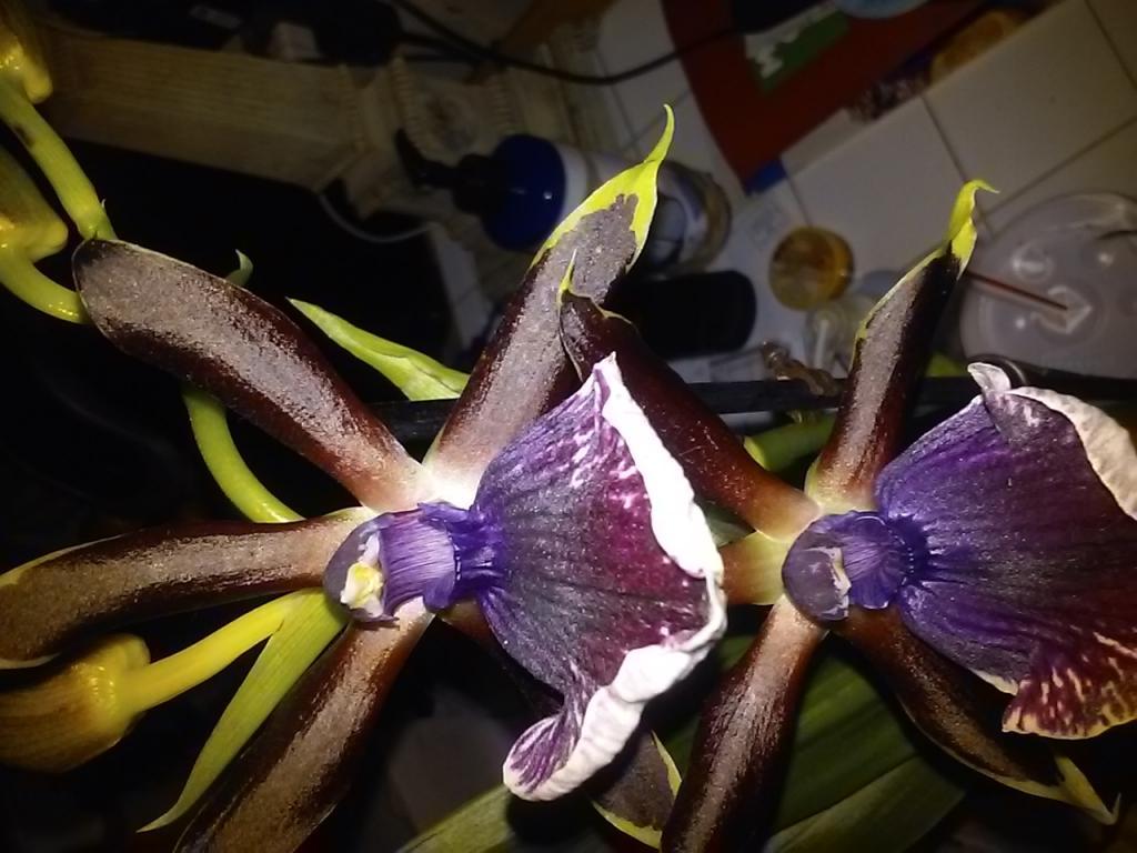 Getting Neomoorea to flower-20180511_231727-jpg