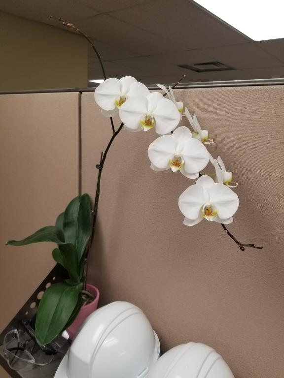 Yikes! Root rot, why?!-white-phal-jpg