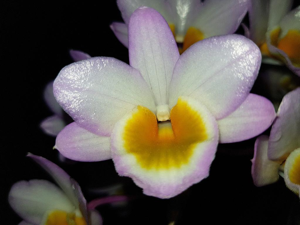 Dendrobium crepidatum-crepidatum2-jpg