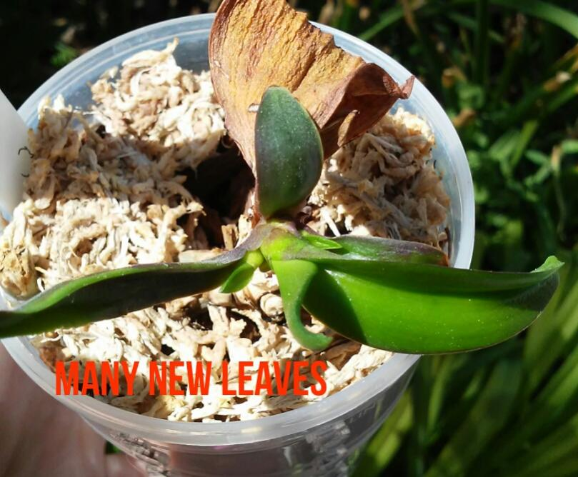 Have a NOID Phal with unusual growth-img_efa3e087c862f62037459dccd336d5ad-jpg