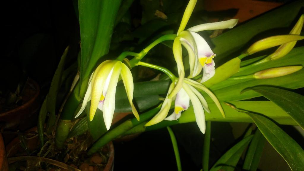 Cattleya iricolor flowering progression-0518180542-jpg